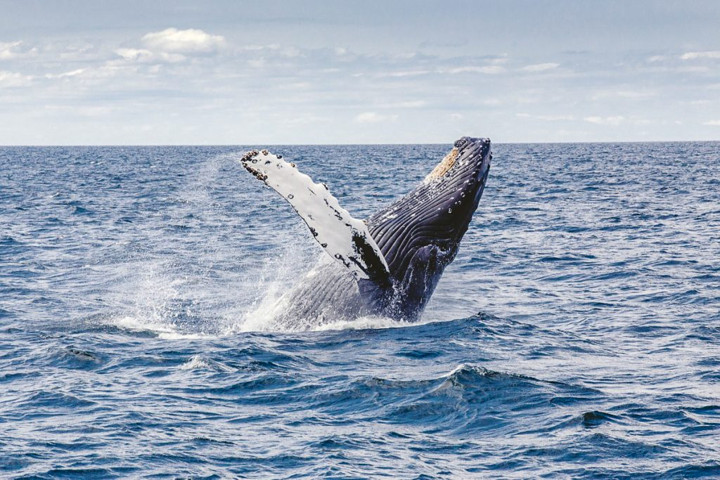Banginių stebėjimas Kvebeke