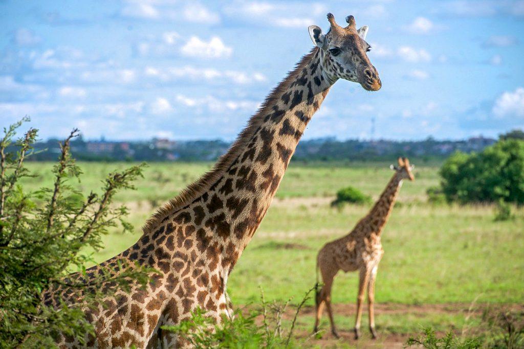 nairobis nacionalinis parkas