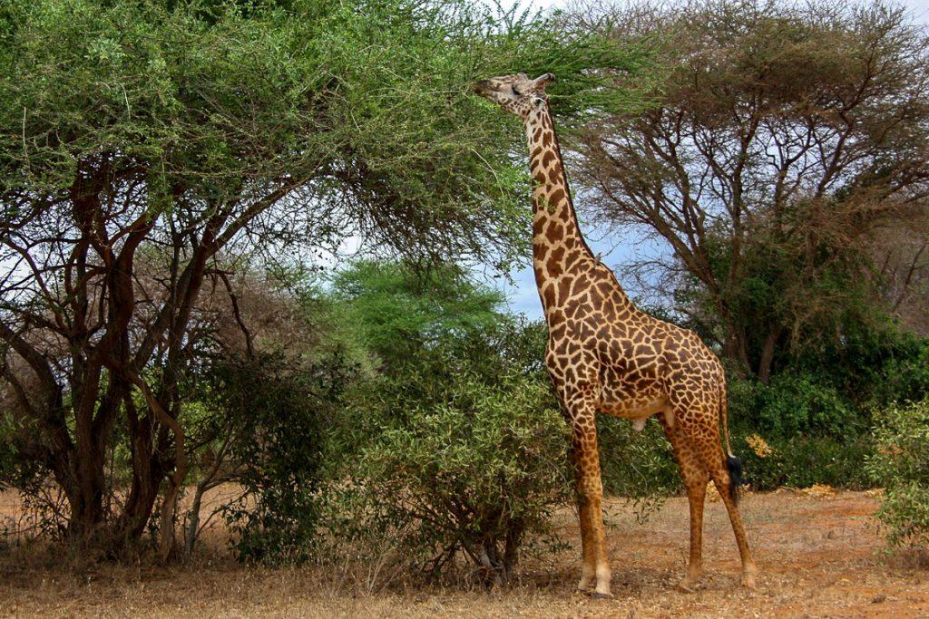 zirafu centras kenija