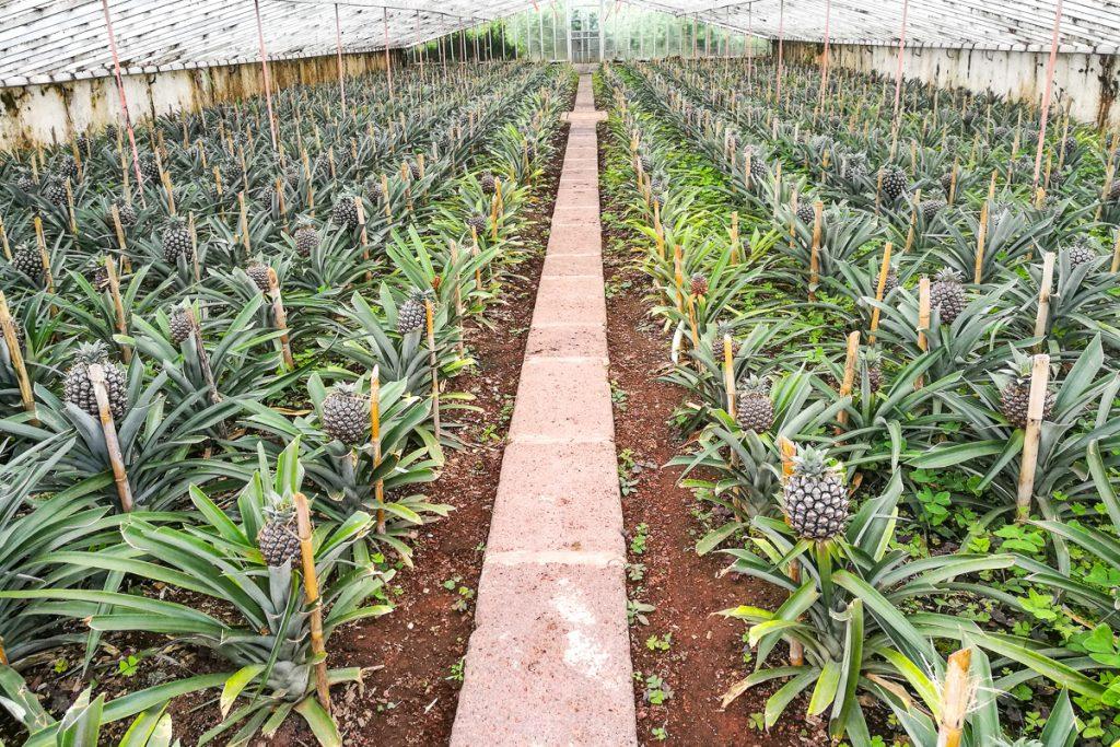 """Ananasų plantacija """"Augusto Arruda"""""""