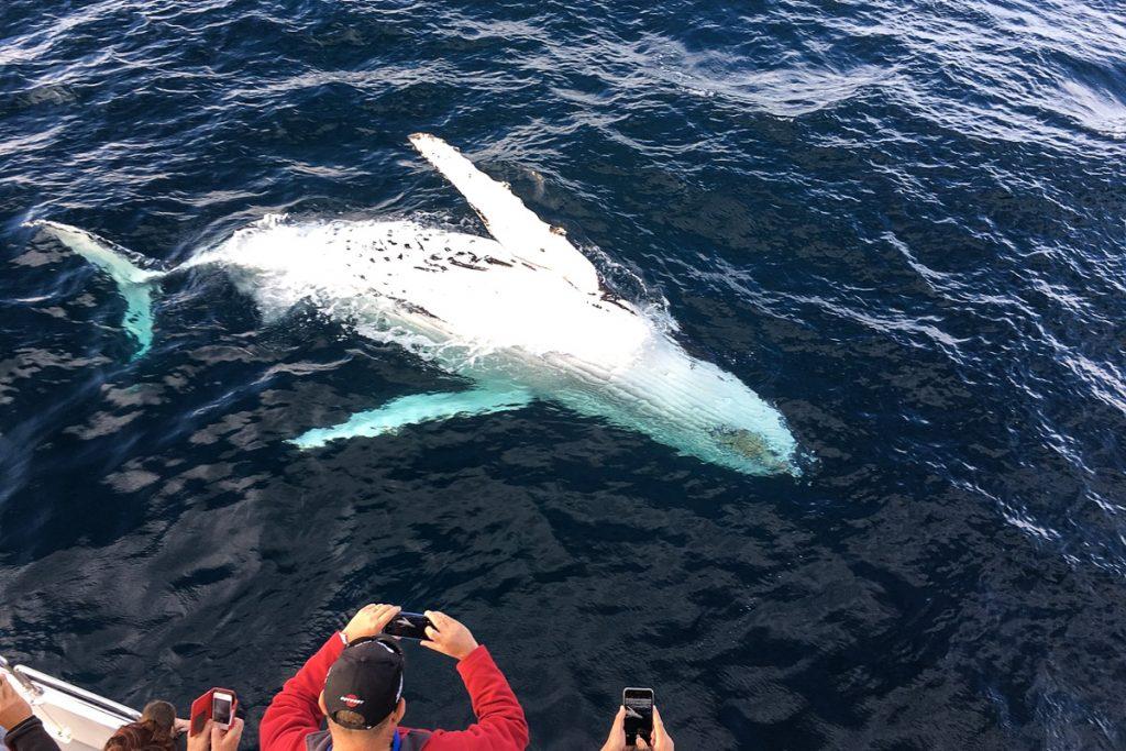 Banginių stebėjimas Azoruose