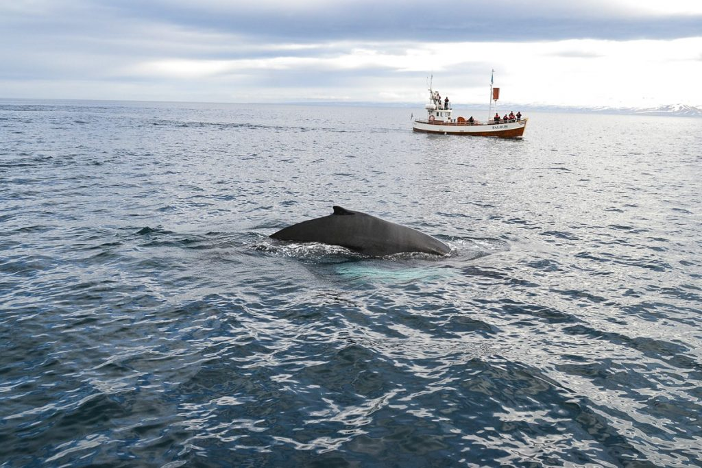 Banginių stebėjimas Madeiroje