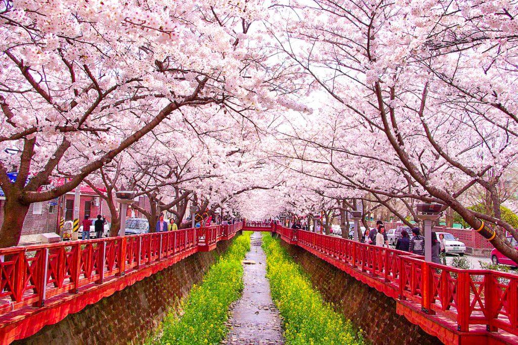 Jinhae vyšnių žydėjimo festivalis