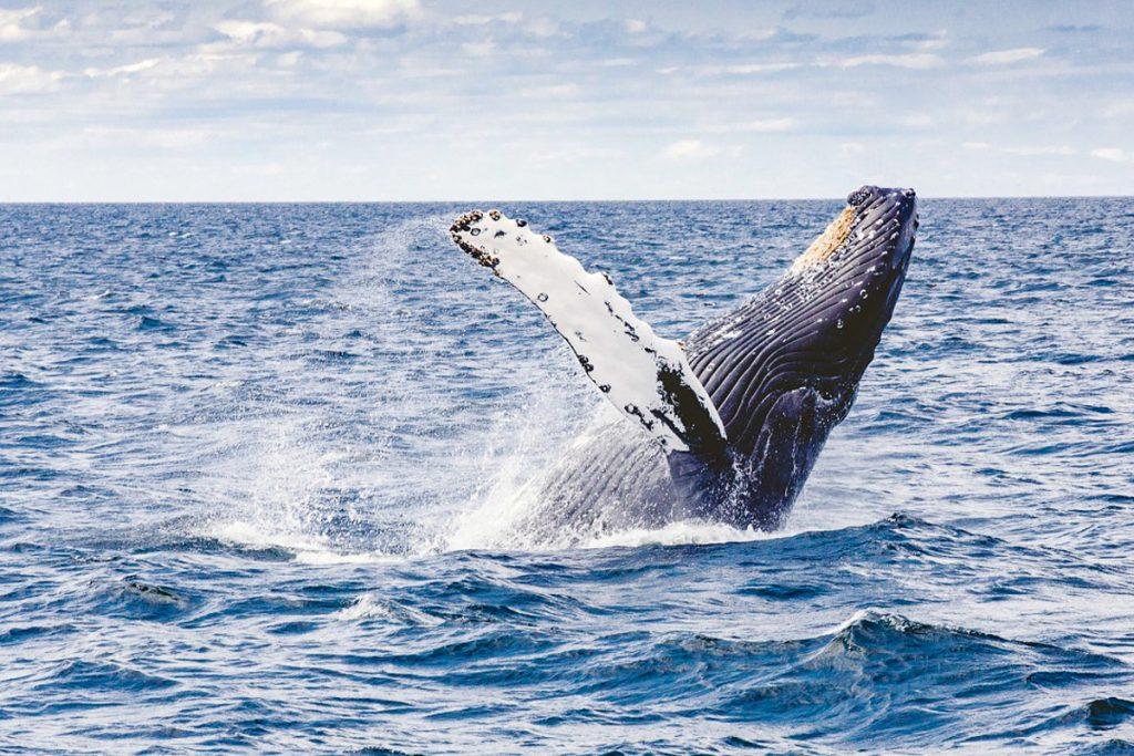 Banginių stebėjimas Lanai saloje