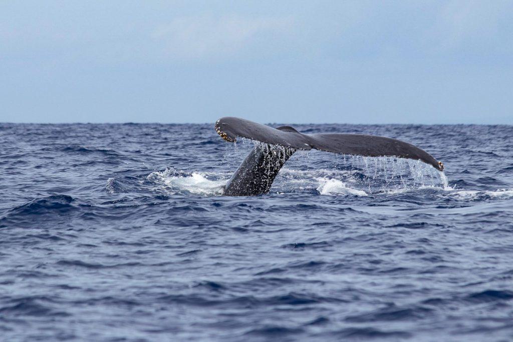 Banginių stebėjimas Maui saloje