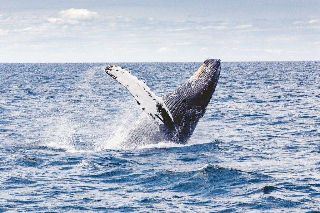 Banginių stebėjimo turas