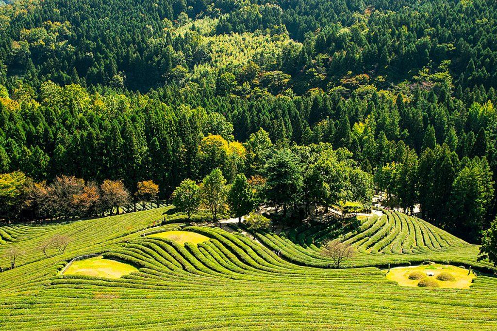 Bosongo arbatos plantacijos