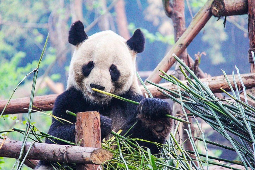 Čengdu didžiųjų pandų tyrimų ir veisimo bazė